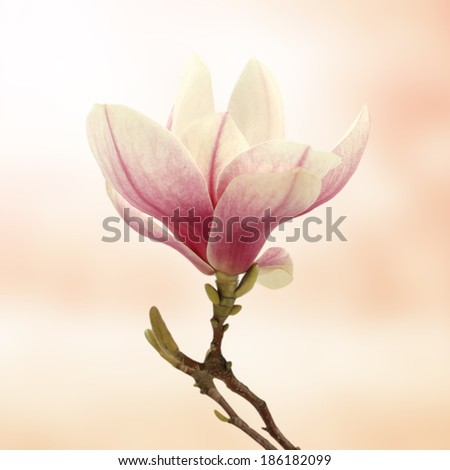 single magnolia flower and pink background  - stock photo