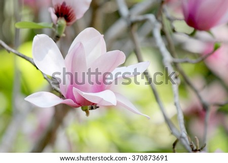 Single Magnolia with soft focus background