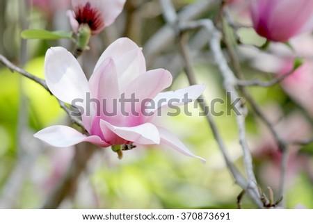 Single Magnolia with soft focus background - stock photo