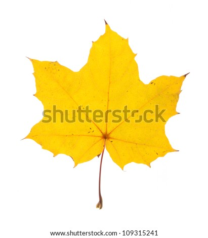 single maple leaf isolated on white - stock photo