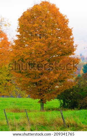 Single maple tree during fall foliage season, Stowe Vermont, USA - stock photo