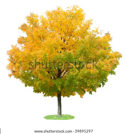 Single maple tree in the autumn isolated on white - stock photo