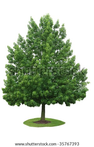 Single maple tree in the summer time isolated on white