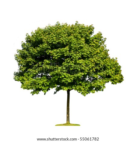 Single maple tree isolated on white background - stock photo