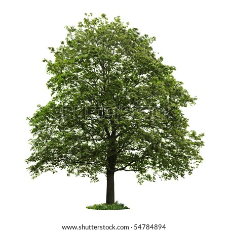 Single maple tree with green leaves isolated on white background - stock photo