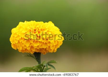 Single Marigold Flower - stock photo