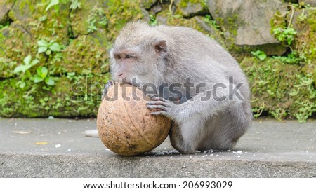Single monkey eating a coconut in the monkey forest in Ubud, Bali - stock photo