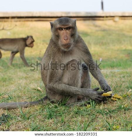 Single Monkey stared to photographer. - stock photo