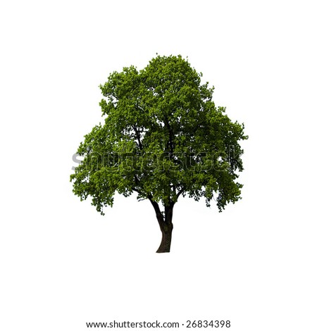 Single oak tree with green leaves isolated on white background - stock photo