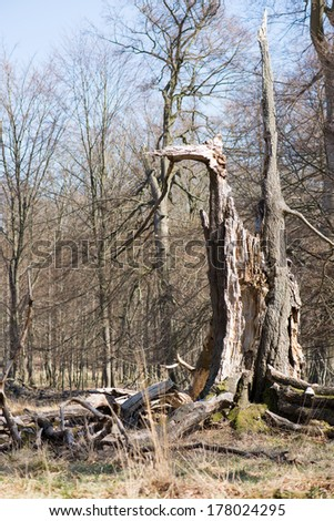 Single old and dead broken tree within a forest