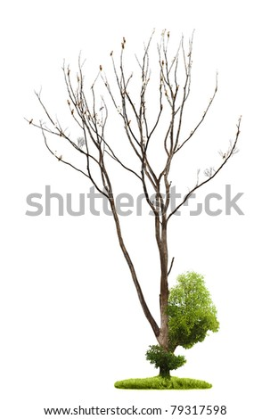 Single old and dead tree and young shoot from one root isolated on white background - stock photo