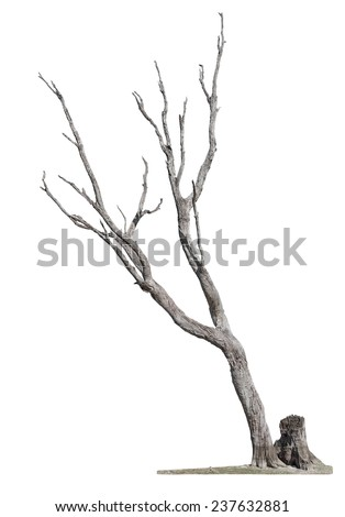 Single old and dead tree and young shoot from one root isolated on white background.Concept death and revival. - stock photo