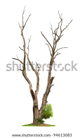 Single old and dead tree and young shoot from one root isolated on white background.Concept death and life revival. - stock photo