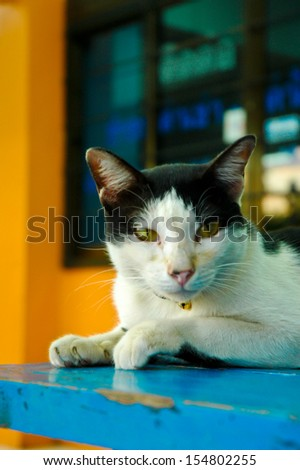 single old close up face black and white cat on blue table ground - stock photo