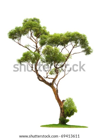Single old tree and young shoot from one root isolated on white - stock photo