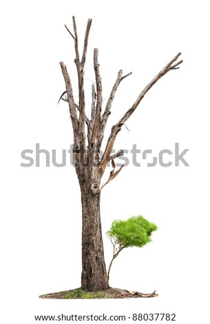 Single old tree and young shoot from one root isolated on white background - stock photo