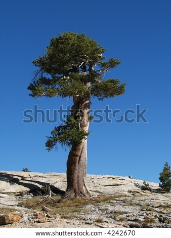 single old weathered Lodgepole Pine (Pinus contorta) stands on a granite ridge in the Sierra Nevada range, Yosemite National Park, California