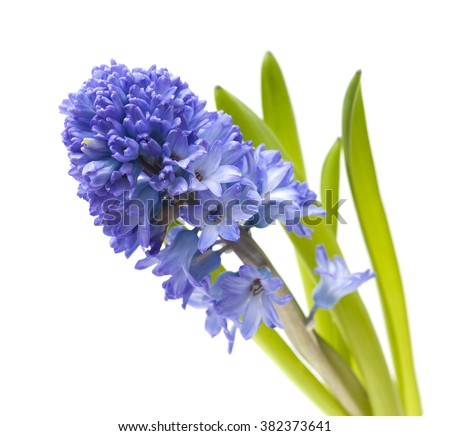 single open blue hyacinth flower  isolated on white background - stock photo