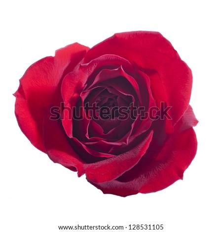 Single Open Rose Isolated on White Background - stock photo