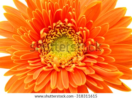 Single orange and red chrysanthemum flower on a white background