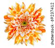 Single Orange and White Chrysanthemum Flower Isolated on White Background. Beautiful Dahlia Flowerhead Macro - stock photo