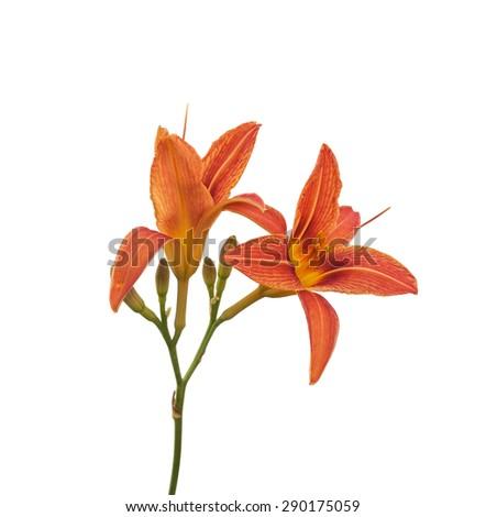 Single orange day-lily flower head, isolated on white - stock photo