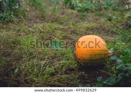 Single orange pumpkin on a field in october