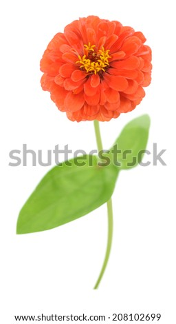 single orange zinnia isolated on white background