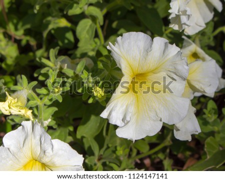 Single pale yellow flowers annual petunias stock photo royalty free single pale yellow flowers of annual petunias family solanaceae related to tobacco cape gooseberries mightylinksfo