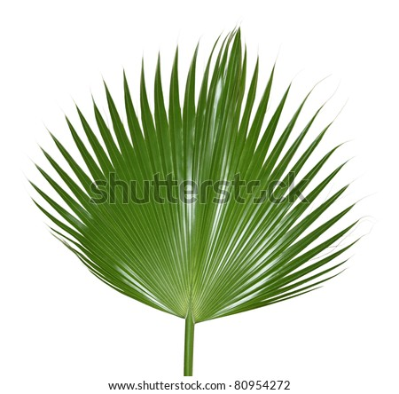 Single palm leaf isolated on white - stock photo