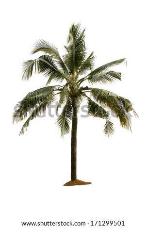 Single palm tree on a white background.