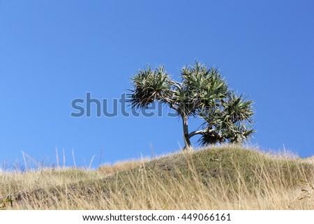 Single Pandanus Tree on hill with Blue SKy - stock photo