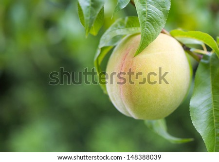 Single Peach hanging from the branch in a backyard - stock photo