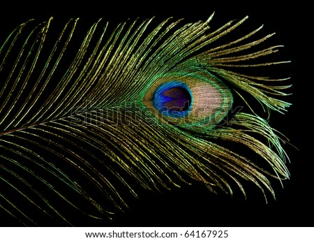 single peacock feather tip isolated on black background; - stock photo