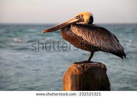 Single Pelican on Wood Post - stock photo