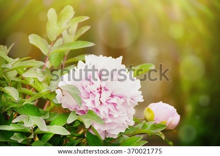 Single Peony Pink Flower in Sunny Day - stock photo