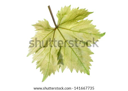 Single perfect beautiful grape leaf and stem showing intricate vein detail isolated on white background