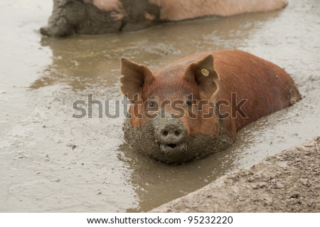 single pig playing in the mud with thick nasty mud all over it's face at an agricultural  farm - stock photo