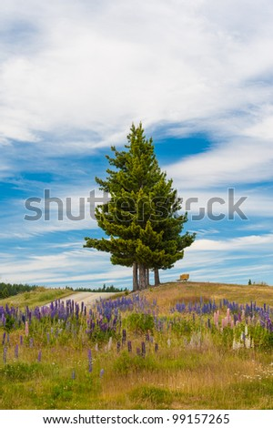 Single pine and beautiful Russell Lupins flowers at New Zealand