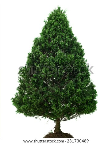 Single Pine Tree isolated on White Background. Natural Christmas Tree without Decoration. Front View with Copy Space  - stock photo