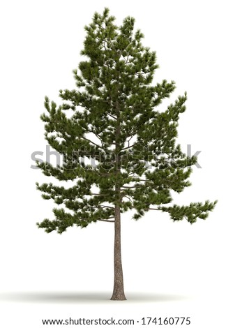 Single Pine Tree (isolated white background) - stock photo