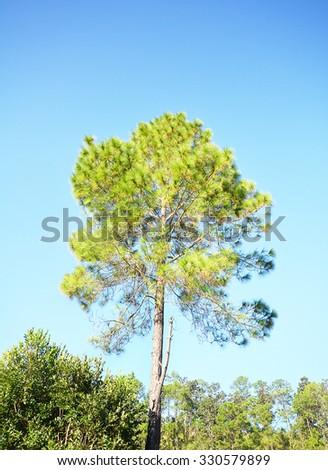 single pine tree with sky - stock photo