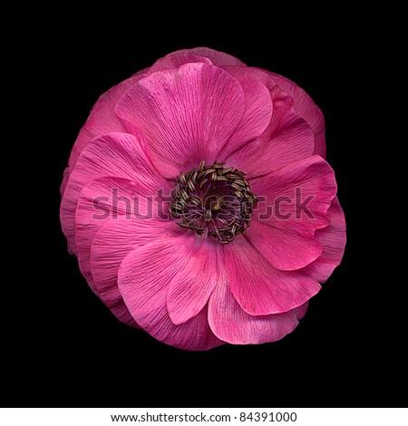 single pink anemone on black - stock photo