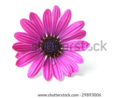 Single pink chrysanthemum flower isolated on white
