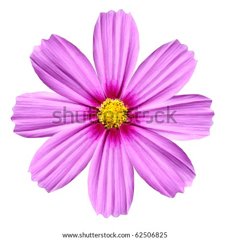 Single Pink Cosmea Rose. Beautiful Cosmos Flower isolated on white background - stock photo