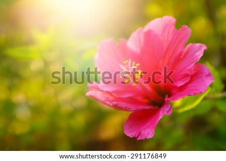Single pink flower in a green field under warm sunlight - stock photo