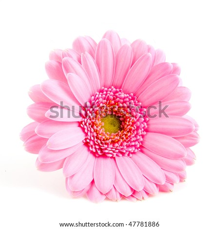 Single pink gerber isolated on white background - stock photo
