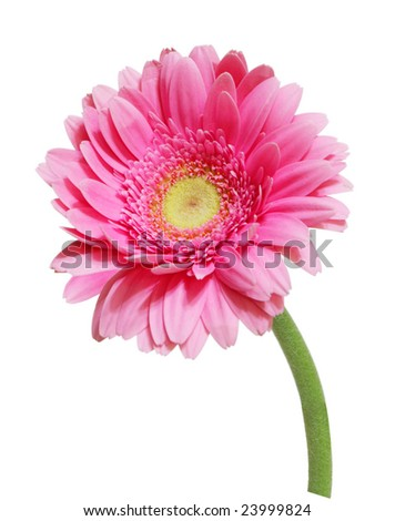 Single pink gerbera flower isolated on white - stock photo