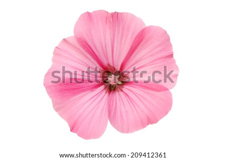 Single pink lavatera flower isolated against white