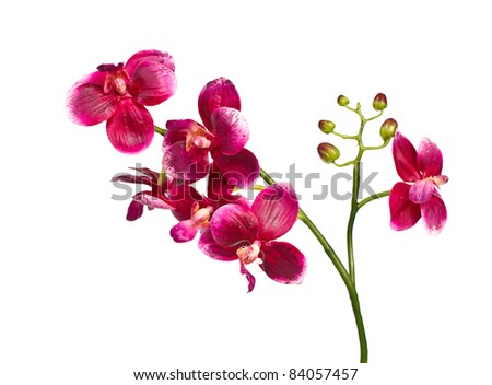 single pink  Orchid isolated on white background - stock photo